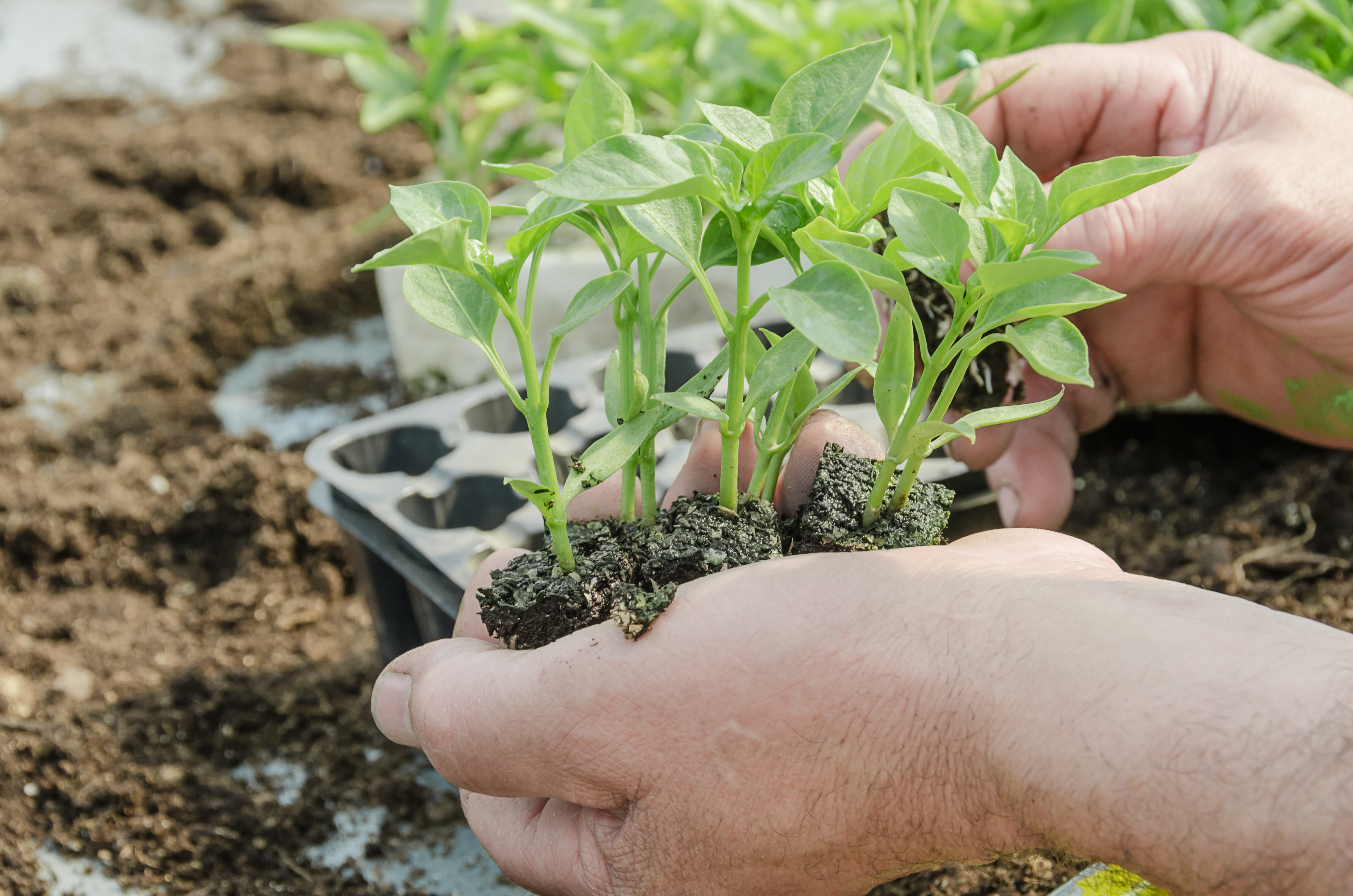 Potting out your seedlings